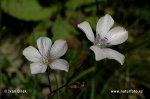 Len tenkolistý (Linum tenuifolium)