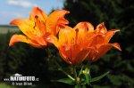 Lilie cibulkonosná (Lilium bulbiferum)