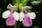 Medovník meduňkolistý (Melittis melissophyllum)
