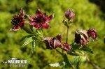 Mochna bahenní (Potentilla palustris)
