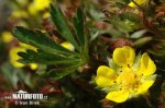 Mochna jarní (Potentilla tabernaemontani)