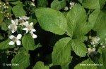 Ostružiník hebký (Rubus amphimalacus)