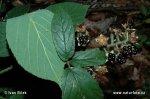 Ostružiník modrozelený (Rubus lividus)