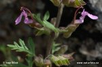 Ožanka hroznatá (Teucrium botrys)