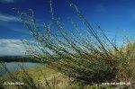 Pelyněk ladní (Artemisia campestris)