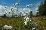 Řebříček bertrám (Achillea ptarmica)