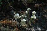 Řeřišničník skalní (Cardaminopsis petraea)