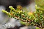 Šicha oboupohlavná (Empetrum hermaphroditum)