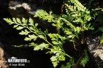 Sleziník hadcový (Asplenium cuneifolium)