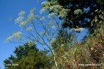 Srpek obecný (Falcaria vulgaris)