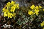 Tařice horská pravá (Alyssum montanum subsp. montanum)