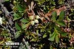 Tolokněnka alpská (Arctous alpina)