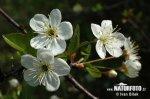 Třešeň křovitá (Prunus fruticosa)