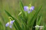 Violka vyvýšená (Viola elatior)