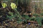 Vlnice chlupatá (Oxytropis pilosa)
