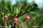 Vlochyně (Vaccinium uliginosum)