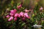 Vřesovec pleťový (Erica carnea)
