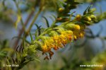 Zahořanka žlutá (Orthantha lutea)