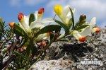 Zimostrázek alpský (Polygala chamaebuxus)