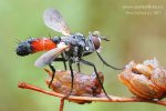 Kuklice I (sp.Tachina Diptera)