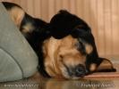 Pes domácí (Canis lupus familiaris)