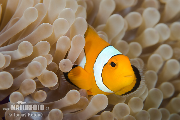 Klaun (Amphiprion sp.)