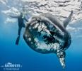 Mesačník svietivý (Mola mola)