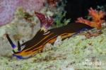 Polycera velkorohá (Nembrotha megalocera)