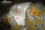 Trnucha modroskvrnná (Taeniura lymma)