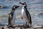 Tučňák Magellanův (Spheniscus magellanicus)