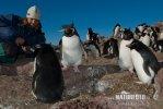 Tučňák skalní (Eudyptes chrysocome)