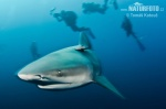 Žralok bělavý (žralok býčí) (Carcharhinus leucas)