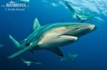Žralok černocípý (Carcharhinus limbatus)