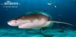 Žralok citronový (Negaprion brevirostris)
