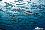 Žralok hedvábný (Carcharhinus falciformis)