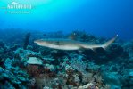 Žralok lagunový (Triaenodon obesus)