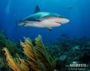 Žralok Perezův (Carcharhinus perezi)
