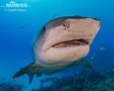 Žralok tygří (Galeocerdo cuvier)