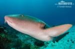 Žralok vouskatý (Ginglymostoma cirratum)