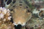 Žralůček Hallstromův (Hemiscyllium hallstromi)