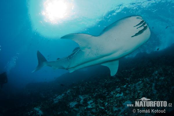 Žralok velrybí ( rhincodon typus )