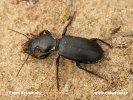 Bežec veľkohlavý (Broscus cephalotes)