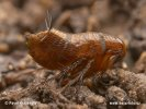 Blecha (Siphonaptera)