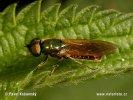 Bráněnka (Chloromyia formosa)