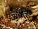 Bzučivka rudohlavá (Calliphora vomitoria)