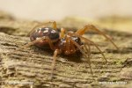 Čelistnatka (Pachygnatha degeeri)