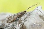 Chrostík (Trichoptera)