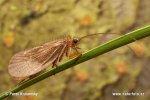 Chrostík chlupatý (Chaetopteryx villosa)