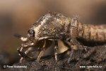 Chvostoskok (Entomobrya multifasciata on Machilidae sp.)