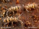 Chvostoskok (Entomobrya corticalis)